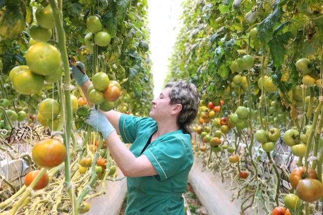 Липецкая область готова занять лидирующие позиции в сфере производства овощей закрытого грунта